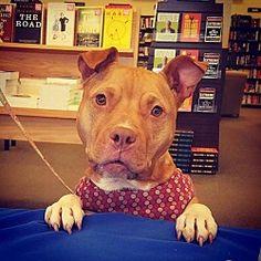 Gilbertsville, Pennsylvania - Pit Bull Terrier. Meet Gloria - Needs Foster, a for adoption. https://www.adoptapet.com/pet/20641901-gilbertsville-pennsylvania-pit-bull-terrier