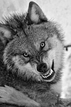 Funny Wildlife — funnywildlife: Wolf Gnashers, Grrrr, back off! Wolf Spirit, Spirit Animal, Wolf Pictures, Animal Pictures, Beautiful Creatures, Animals Beautiful, Tier Wolf, Animals And Pets, Cute Animals