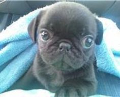 I will own a pug one day, and it will be a most important part of my home.  This is a promise♥