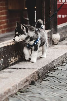 captvinvanity:  Husky puppy | Photographer | CV