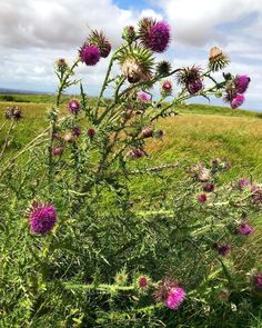 Thistles  #Regram via @cba_content Bloom Where You Are Planted, Thistles, Wild Flowers, Content, Places, Instagram, Wildflowers, Lugares