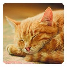 (AP) — A cat that vanished in South Carolina two years ago is going home after ending up nearly miles away in Southern California. Kevin the orange tabby is leaving Palm Springs on Wednesday after disappearing from An. Bon Weekend, Cute Kittens, National Nap Day, Sleeping Kitten, Forest View, Ginger Cats, Take A Nap, Pretty Cats, Tabby Kittens