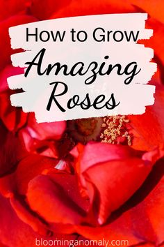 Learn how to grow the popular rose in your garden. There are many to choose from, such as climbing, miniature, and floribunda roses. Click on the pin to learn more about growing roses. #growroses #growrosebushes #growrosesinpots #howtogrowroses Beautiful Flowers Garden, Amazing Flowers, Gardening For Beginners, Gardening Tips, Floribunda Roses, Rose Care, Types Of Roses, Growing Roses, Hybrid Tea Roses