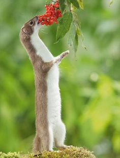 """""""A stoat can be easily told from a weasel, By the simple fact that his tail is blacked, And his figure is somewhat the bigger."""" Thanks Enid Blyton lol Nature Animals, Animals And Pets, Baby Animals, Cute Animals, Beautiful Creatures, Animals Beautiful, La Martre, British Wildlife, Hamsters"""