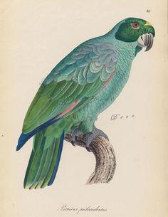antique parrot illustration vintage printable digital by ArtDeco