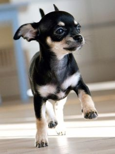 Chihuahua: Chihuahua were originated in Mexico and are also considered as one of the world's smallest dog breed. My Chiweenie was bred with a Black and Tan chihuahua. Cutest thing EVER!!
