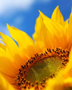 Sunflower Canvas Art Nature Photography Yellow Floral Art On