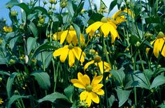 Find help & information on Rudbeckia laciniata 'Herbstsonne' coneflower 'Herbstsonne' from the RHS Late Summer Flowers, Long Blooming Perennials, Tall Flowers, Garden Oasis, Salvia, Garden Plants, Color Inspiration, Garden Design, Google Search