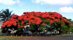 Îles de rêve - Flamboyant en fleur à Rivière des Roches (Réunion) - Les arbres à lhonneur : vos plus beaux clichés