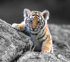 "Here is my collection of pictures of wild cats, okay should be called ""Wild Big Cats""! You will find pictures of wild cats, like Tigers, Wh. Cubs Wallpaper, Tier Wallpaper, Animal Wallpaper, Wildlife Wallpaper, Wallpaper Gallery, Nature Wallpaper, Cartoon Wallpaper, Cute Tiger Cubs, Cute Tigers"
