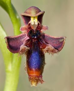 Earwig Orchid...hate earwigs but love this flower....