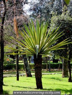 Villa Giulia Park - Palermo: Tree