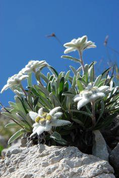 LEONTOPODIUM ALPINUM (Stella alpina. Edelweiß. Étoile des Alpes. Planika. Edelweiss). Asteraceae | by apollonio&battista