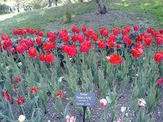 Tulipanes en brookling