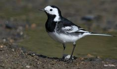 #Pied #Wagtails are almost exclusively #British #birds. Some, however, reside in France and Holland. On the Continent, the resident wagtail is a White Wagtail, which sometimes nests in southern Britain…