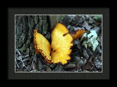 Nature Framed Print featuring the photograph A Golden Butterfly Mushroom by Sheila Brown