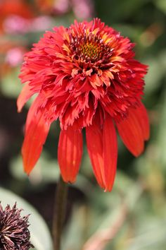 Recently introduced, this new coneflower produces its double, orange-red flowerheads on well branching stems throughout summer. The flowerheads hold their colour well as they mature and will add vibrancy to a 'hot' themed border.