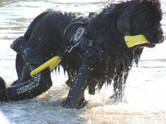 Hard at work...this is what Newfies do and love Rescue! #NewfoundlandDog