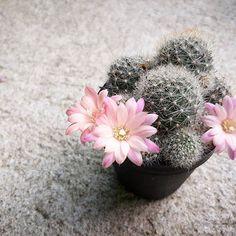 ~Rebutia~  #cactusthailand #cactus #cactuslove #rebutia #rebutialover   #chuplephoto