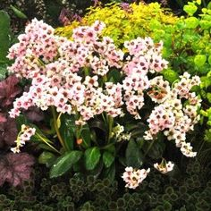 Bergenia Dragonfly Angel Kiss - A multitude of pale pink flowers - Bergenia – Perennial evergreen ground cover with great longevity - Ground Cover, Plants, Deer Resistant Garden, Foliage, Pink Flowers, Sun Perennials, Perennials, Rose, Flowers