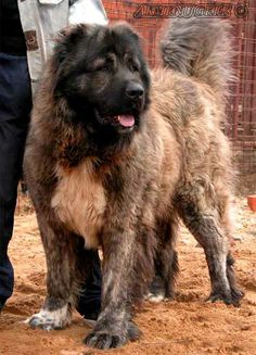 ovcharka Big Dogs, I Love Dogs, Russian Bear Dog, Caucasian Shepherd Dog, Kinds Of Dogs, Mountain Dogs, Dog Supplies, Dog Breeds, Creatures