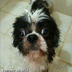 お掃除終わってお風呂ちう #shihtzu #dog #philippines