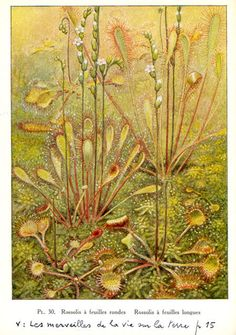 beautiful antique botanical illustration