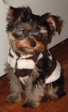 All time faves! | A community of Yorkshire Terrier lovers!
