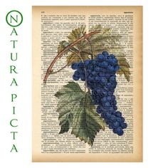 Bunch of grapes dictionary print - on Upcycled Vintage Dictionary page - by NATURA PICTA