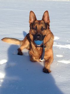 Reilly in the snow with his favourite ball - German Shepherd GSD