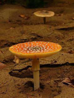 Love my fungi! Wild Mushrooms, Stuffed Mushrooms, White Button Mushrooms, Yellow Mushroom, Mushroom Pictures, Slime Mould, Plant Fungus, Mushroom Fungi, Types Of Plants