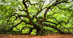 The Angel Oak Tree on South Carolina's largest island, John's Island, is the oldest tree east of the Mississippi River and is one of the oldest living things in the United States. Angel Oak Trees, City Of Charleston, Johns Island, Old Trees, Picnic Area, Medicinal Herbs, Drink Coasters, Mississippi