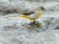 Yellow wagtails - Wild About Britain