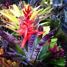 Native to Brazil, the rare Alcantarea imperialis is one of the world's largest bromeliads, and it is blooming in the Pacific Northwest at Rare Plant Research. Description from pinterest.com. I searched for this on bing.com/images