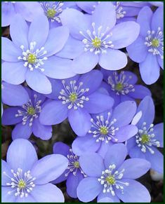 ~~ Hepatica nobilis spring flowering perennial..4-6 in. Light shade, moist but well-drained soil ..hardy zones 4-8