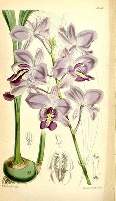 2741 Bletia catenulata Ruiz & Pavon [as Bletia sherrattiana Bateman ex Hook.f.]  / Curtis's Botanical Magazine, t. 5618-5682, vol. 93 [ser. 3, vol. 23]: t. 5646 (1867) [W.H. Fitch]