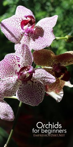 Have you wanted to try growing orchids but don't know where to start? This simple guide for beginner growers has everything you need to know including how to choose the right plant, what conditions it will need to thrive in your home, and what to anticipate for the future including re-potting. Have a look and get started with your first orchid.
