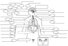 what does the endocrine system do human body systems. key