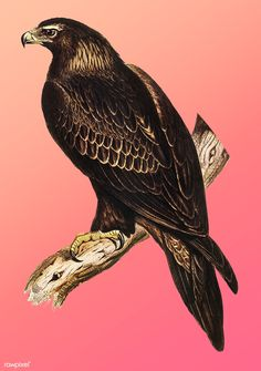 Vintage Illustration of Wedge-tailed Eagle. | free image by rawpixel.com Eagle Bird, Bald Eagle, Wedge Tailed Eagle, Eagle Vector, Bird Artists, John Gould, Eagle Tattoos, Australian Animals, Bird Illustration