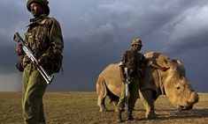 Last surviving male northern white rhino is now under 24-hour guard #DailyMail | See this & more at: http://twodaysnewstand.weebly.com/mail-onlinecom