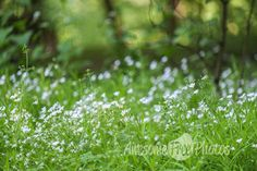 Free Stock Photo for Commercial Use - White Flowers Field