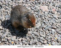 Nelson ground squirrel