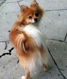 05/14/2015: Holly the Pomeranian