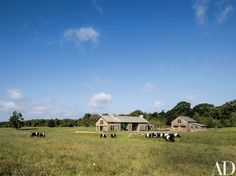Cattle graze outside the home of Molly and Eric Glasgow at the Grey Barn and Farm in Martha's Vineyard, Massachusetts | archdigest.com