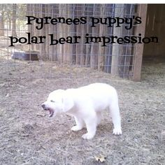 Pyrenees puppy's polar bear impression :). For Melissa