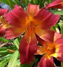Daylily Plant - Rosey