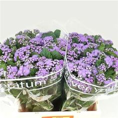 Ageratum - 2018 Wedding Trend: Ultra Violet Purple. For lilac and purple wedding flowers to suit your colour scheme, visit our website at www.trianglenursery.co.uk/fresh-flowers!