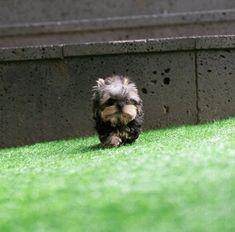 Yorkies Puppy List, Terrier Mix Dogs, Yorkies, Backyard Landscaping, Landscape Design, Puppies, Animals, Backyard Landscape Design, Cubs