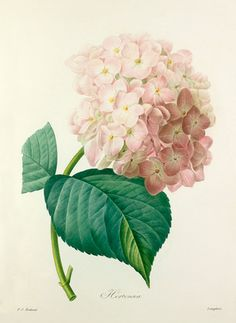 Colour-printed, hand-finished stipple engraving entitled Hortensia. From P. J. Redouté's Choix des plus belles fleurs. Creator Redouté, Pierre Joseph (1759-1840) (Artist) Date circa 1827