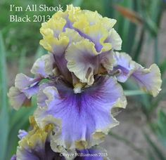 """All Shook Up,"" a lovely gray, purple and lemon-yellow iris that pays tribute to the kind of rock 'n roll"